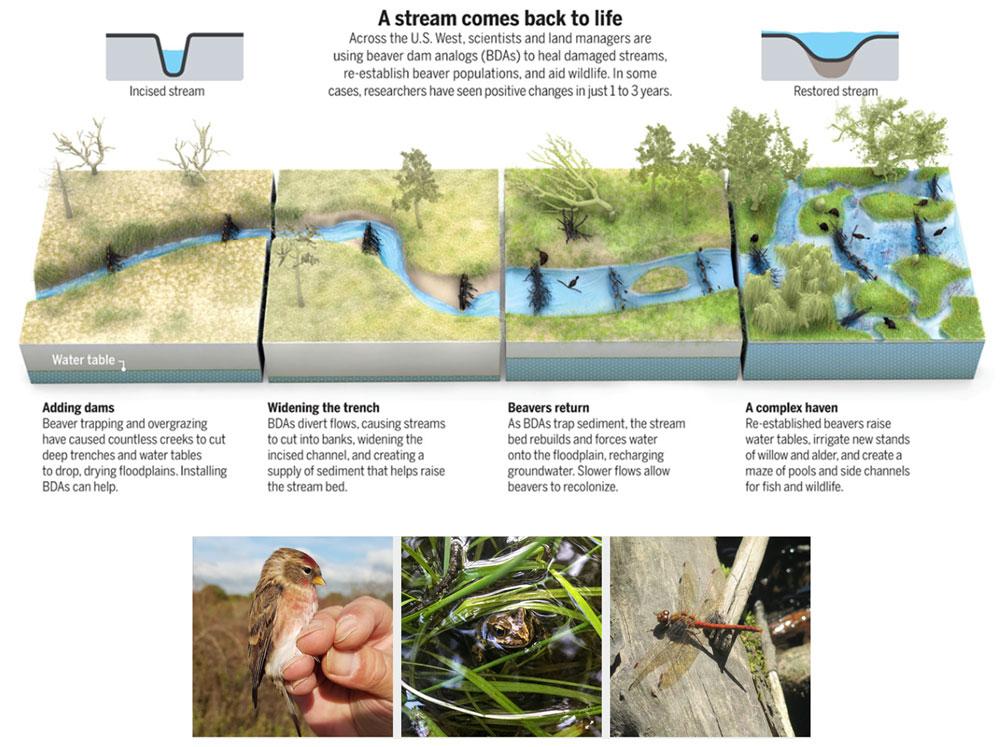 Beavers bring stream back to life