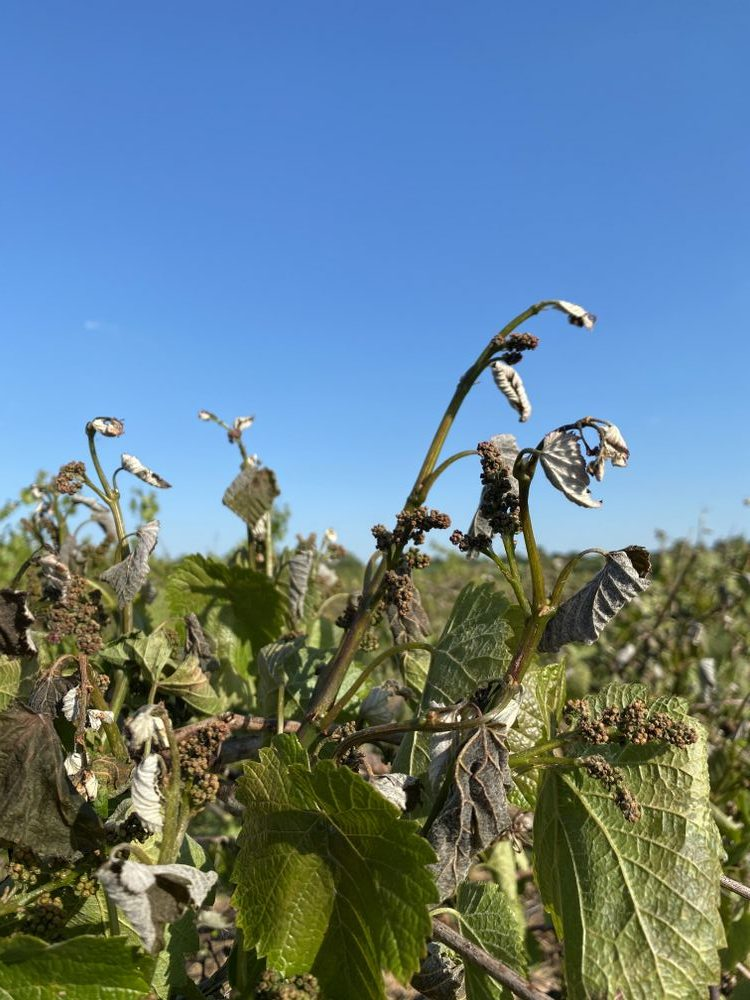 Late frost damage 15th May