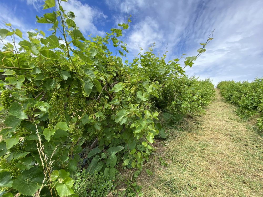 Vines allowed to grow