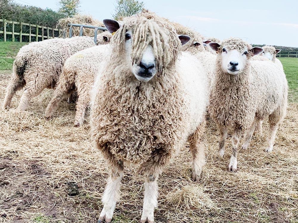 Friendly Sheep at Townsend Farm